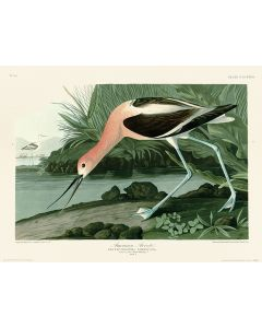 John James Audubon American Avocet Art Print 30x40cm