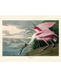 John James Audubon Roseate Spoonbill Art Print 30x40cm
