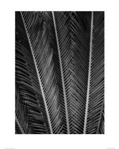 Palmvaren in Zwart-Wit Art Print Dennis Frates 60x80cm
