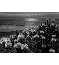 Protea and Pacific