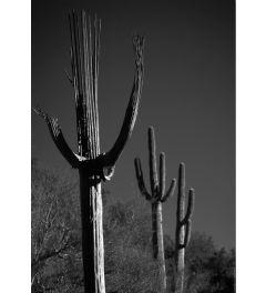 Spent Saguaro #11