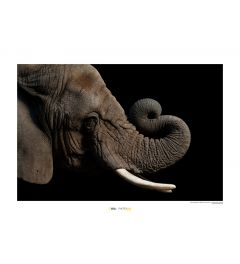Afrikaanse olifant Art Print National Geographic 50x70cm