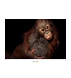 Borneose orang-oetan Art Print National Geographic 50x70cm