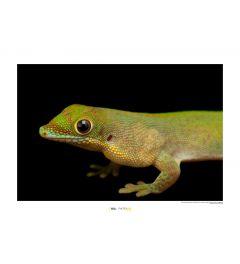 Goudstofdaggekko Art Print National Geographic 50x70cm
