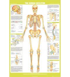 Chartex Skelet Poster 61x91,5cm