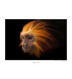 Goudkopleeuwaapje Art Print National Geographic 50x70cm