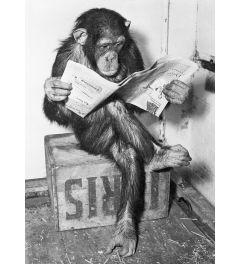 Chimpansee Leest Een Krant Poster 61x91.5cm