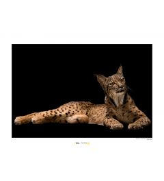 Iberische lynx Art Print National Geographic 50x70cm