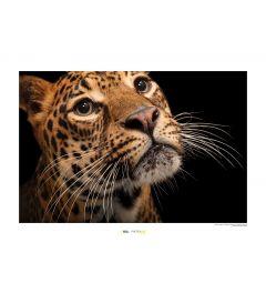 Javaanse luipaard Art Print National Geographic 50x70cm