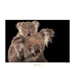 Koala beer Art Print National Geographic 50x70cm