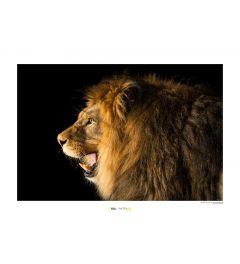 Leeuw Art Print National Geographic 50x70cm