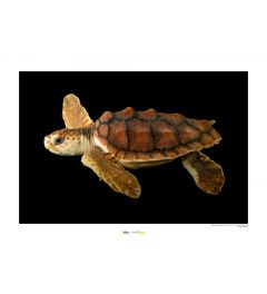Onechte Karetschildpad Art Print National Geographic 50x70cm