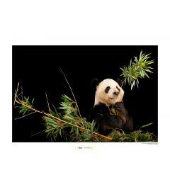 Panda Art Print National Geographic 50x70cm