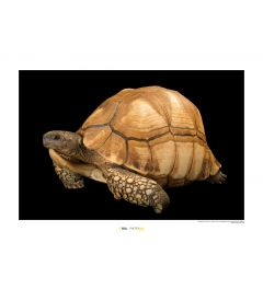 Madagaskarschildpad Art Print National Geographic 50x70cm