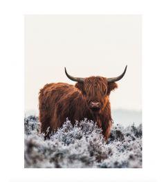 Schotse Hooglander Kunstdruk