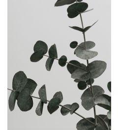 Eucalyptus 2 Kunstdruk