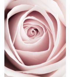 Pink Rose Kunstdruk