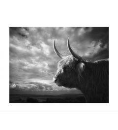 Schotse Hooglander Portret Kunstdruk