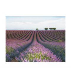 Lavender Fields Kunstdruk