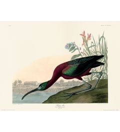 John James Audubon Glossy Ibis Art Print 30x40cm