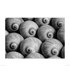 Gestreepte Schelp in Zwart-Wit Art Print Dennis Frates 60x80cm