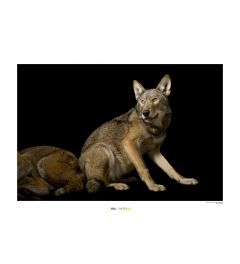 Rode wolf Art Print National Geographic 50x70cm